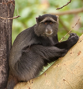 Blue monkey in Lake Manyara National Park