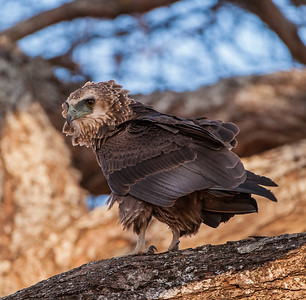 Immature Bateleur eagle in Tarangire NP