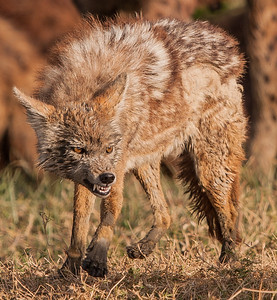 Golden Jackal near a kill in Ngorongoro Crater