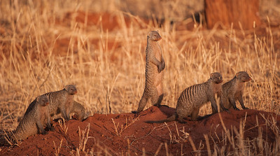 Banded mongooses are socialable and alert, Tarangire NP