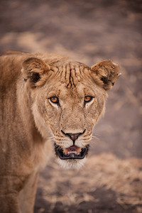 Male maneless lion in Tarangire National Park