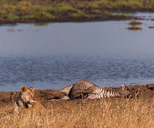 Lionness strikes it lucky finding a Zebra carcass, Tarangire NP
