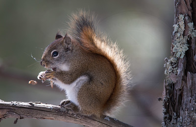 Red Squirrel having lunch.