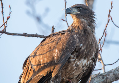 Juvenile Eagle I ran into just out of Superior, WI.