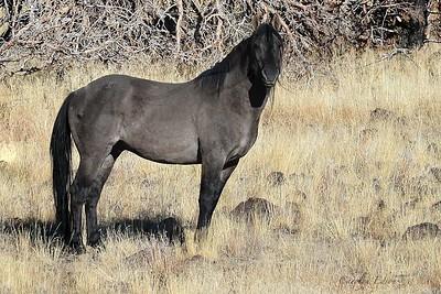 Stocky Stallion.