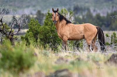 Wild Kiger stallion