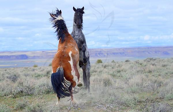 Wild Stallions fighting.