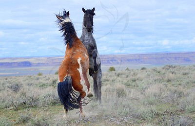 150 ~ Wild Stallions fighting.
