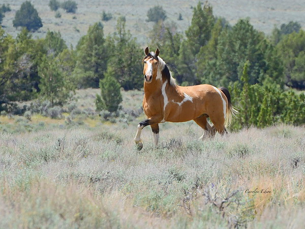 Navajo ~ wild stallion