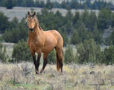 66  Stallion ~ Mingo