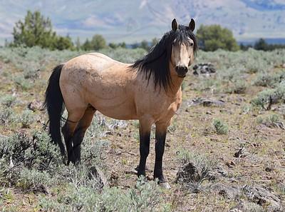 Wild dun stallion
