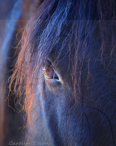 # 2  Blue reflection.     Stunning Blue Roan Mare who was standing in the shade. The sun kissed the side of her face and I was lucky enough to be there...