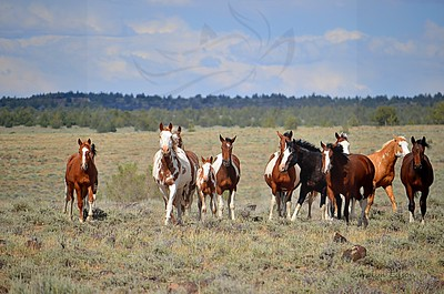 54  Group of Wild horses coming over to check out the Mustangs we were riding.