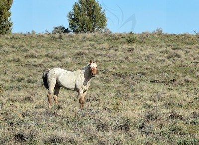 45  Stallion Copperhead.