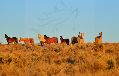 22  Band of Mustangs at Sunset. Temperature was around 30 degrees...