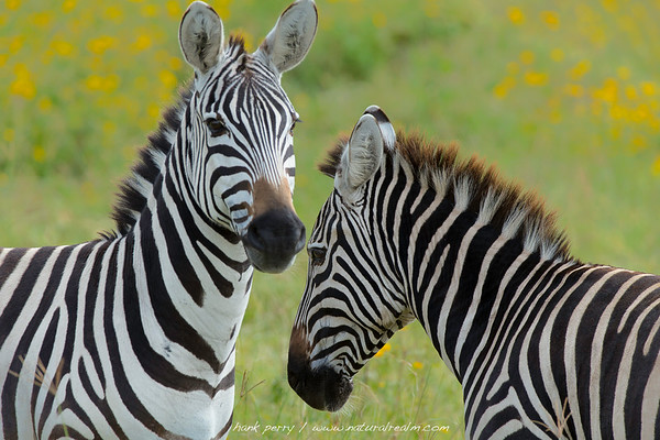 zebras and yellow daisies