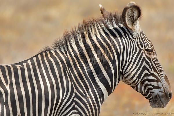 Grevy Zebra Relaxing