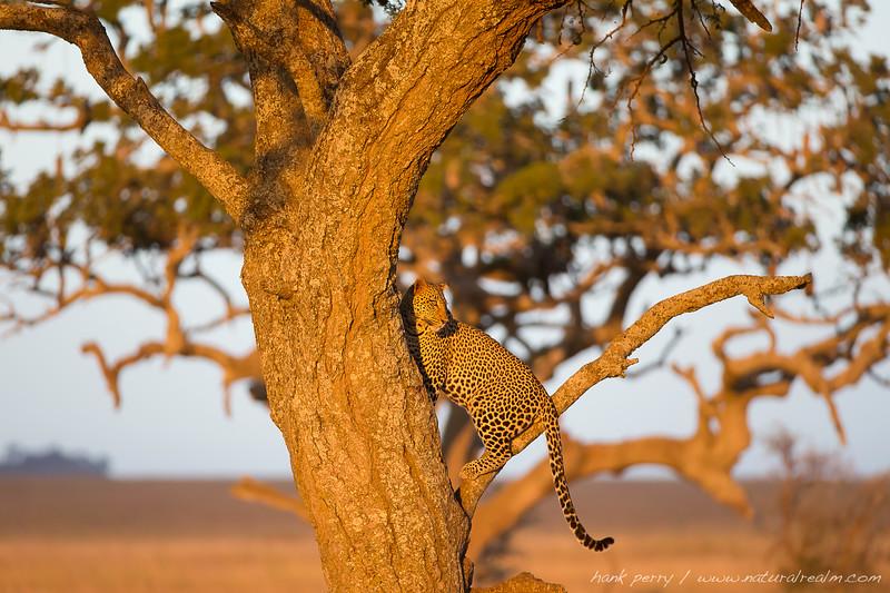 Leopard at last light