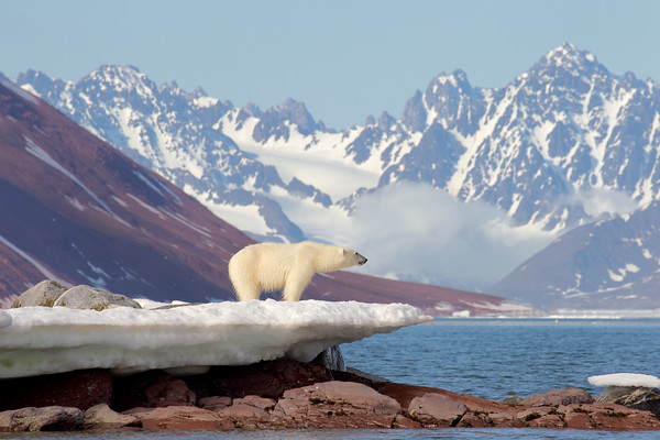 This is 500 miles from the north pole in July.  The bay should be frozen allowing the bear to hunt ringed seals.  It is not.  Global warming affects whether these animals will be visible anywhere in the next 30 years.  Curiously, we were positioned for this shoot with a guide in a zodiac.  The bear immediately (after the motor drive took about 4 shots) started for us, only out of curiosity.  Curiosity is an evolutionary trait that succeeds because bears find stuff to eat when they are curious.  Picture: sputtering non-starting 2-stroke (been giving problems the whole way), guide muttering various colorful words of encouragement  - all a part of the experience of traveling in remote places.  The engine did start, we got marvelous head shots as the bear swam toward us.  No one panicked.  Rubber ducky not popped.  Lived to tell the story over drinks..  We saw several drowned bears who were exhausted from not being able to haul out onto ice.
