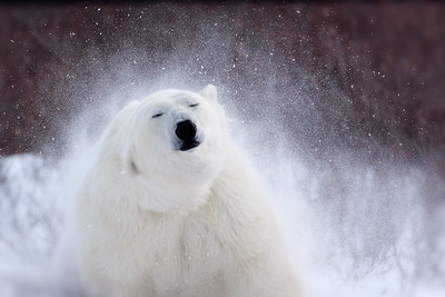 Polar Bear Shaking Snow: First Place Winner of the Defenders of Wildlife Photo Contest 2011, this polar bear shakes off snow after a long back rub.