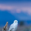 Snowy Owl Irruption 2012 : Boundary Bay, Washington was the scene of a visitation of around 30 snowy owls during the winter of 2012.