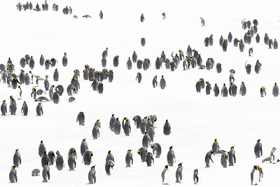 King penguins in snow, South Georgia Island.  I found myself intrigued by the pattern their outline made in this expanse of snow as it appeared through the telephoto lens.