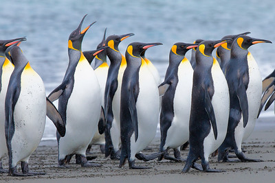 There's always someone in a line that is likely to raise a fuss!  These King Penguins are existing the surf and following their leader...back to the colony at Right Whale Bay, South Georgia Island.