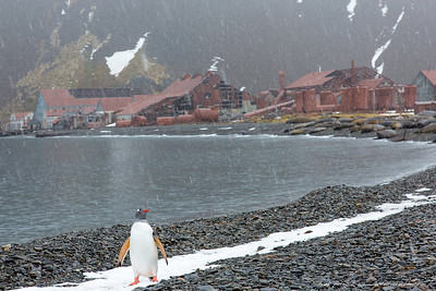 Whaling station in rust: A gentoo penguin walks toward me in a heavy rain/snow mixture, in front of an abandoned whale processing factory at Stromness, nearly 100 years in the rust.  For me, this image depicts the relics of the past horrific decimation of whales which took place on South Georgia Island, juxtaposed by the gentoo-- one icon of the complex modern challenges for managing climate change, and over-fishing, both of which influence whether these birds will be here 100 years hence. In 1914, Ernest Shackleton and a small crew landed on the unpopulated southern coast of South Georgia at King Haakon Bay after an arduous sea voyage from Elephant Island in the 22-foot lifeboat James Caird. Shackleton along with Tom Crean and Frank Worsley then trekked across South Georgia's mountainous and glaciated interior in an effort to reach help on the populated northern shore of the island. After 36 hours of crossing the interior they arrived at the Stromness.  All men were subsequently rescued from Elephant Island. In the decades following its closure, Stromness has been subject to damage from the elements and many of its buildings have been reduced to ruins.