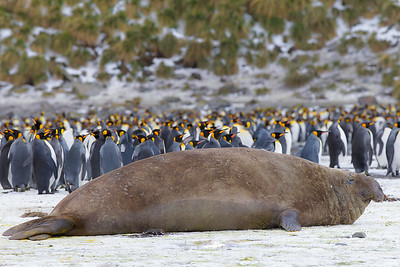 An elephant seal subadult makes for a great foreground for this king penguin colony, South Georgia Island.