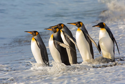Stepping into the light of a new dawn, these king penguins greeted our arrival as they set out on a fishing trip.  The sunlight was brief, and we had all kinds of weather while ashore.  St Andrews bay, South Georgia Island.