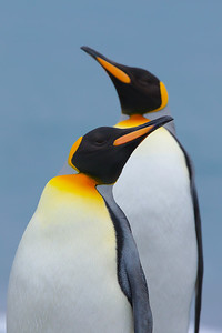 A favorable light and blue background!  These king penguins were exiting the surf - nice and clean from their time in the water.  There are about 400,000 breeding pairs of King Penguins on South Georgia, and the population of these birds has increased about 5% per year over the past 80 years, according to the South Georgia website.