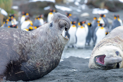A young bull elephant seal raises its snout in front of a king penguin colony as light snow and rain fell.