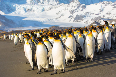6:05 a.m., these king penguins prepare to go out to sea, and step toward the light.