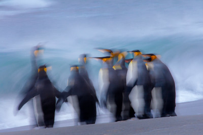 Yet another of my motion blurs, 1/5 of a second still contains a lot of movement with these King Penguins in front of heavy surf.