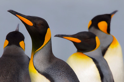 """King and emperor penguins (Aptenodytes patagonicus and Aptenodytes forsteri) are the only species of marine birds so far known to reflect ultraviolet (UV) light from their beaks. (NIH National Library of Health and Medicine, Birgitta Dresp,1 Pierre Jouventin,1 and Keith Langley2,*) in an apparent way to enhance attraction of mates.  There is a """"structural basis arising from microstructures that manipulate light within the reflecting tissue."""""""