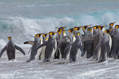 Do I stay or do I go?  The decision seemed to be tentative for this group of King Penguins to return to the sea to fish.