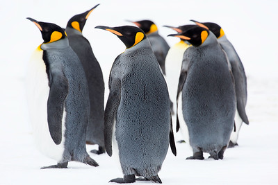 Newly molted, these king penguins huddle against a snow-filled background, South Georgia Island