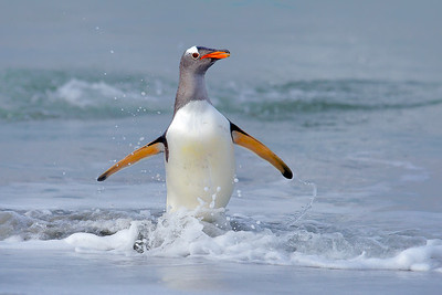 A gentoo penguin arrives onshore at last light, Falkland Islands