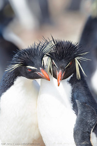 Rockhoppers in love: this pair was being affectionate with each other as the one on the right positioned itself on the egg.  Falkland islands.