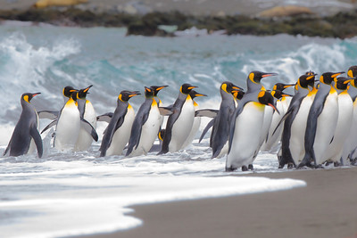 King penguins returning from the sea.  St Anthony's Bay, South Georgia Island.