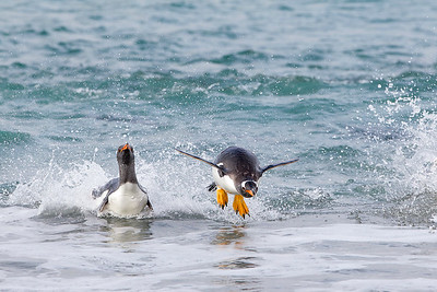 Gentoo penguins arrive on shore, usually by porpoising.  Here, a penguin is caught mid air before plopping somewhat awkwardly onto the beach.