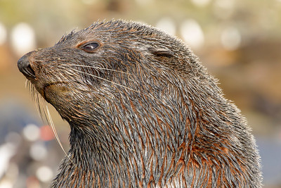 Southern fur seal looks into the light in a moment of indecision as to whether or not to pursue me.  As the breeding season progresses for the southern fur seal, they become as aggressive with photographers as a barking dog chasing a bike.  Tripods became self-defense tools, an ironic moment considering the near-extinction of this wonderful seal.
