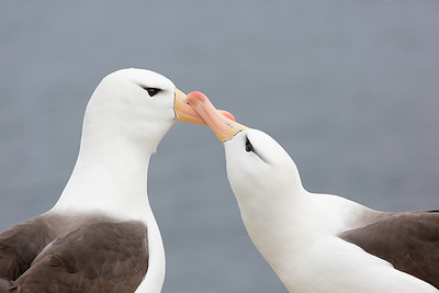 "These ""billing"" Black-browed Albatross are in the dance.  Falkland Islands.  This species is listed as Endangered because it is estimated to be declining at a very rapid rate over three generations (65 years) on the basis of current rates of decline at the large breeding colonies in the south-west Atlantic. These declines have been attributed to the impact of incidental mortality in longline and trawl fisheries, similar to the Wandering Albatross which is nearly twice its size.  Colonial nesters, these birds forage quite a distance at sea before returning to feed their mates and chicks."