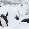 These Macaroni penguins were sleeping through a spring snow shower which was quite wet.