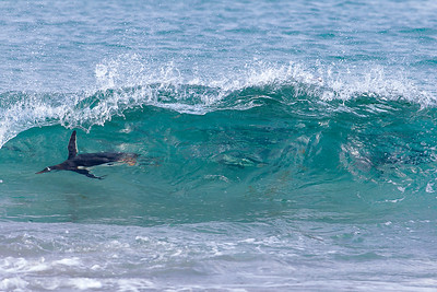 A gentoo penguin rides a wave as a group comes onshore.  Several of his mates can be seen drafting the wave as well.  This appears to be an adaptation for avoiding predators, but it also looks like fun!  Gentoo penguins are among the fastest swimmers of all birds - reaching up to 20 mph as they porpoise.