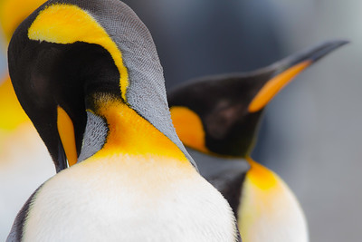 """King penguins constantly prune feathers.  Like all birds, they molt - and in the Antarctic, the energy requirements are substantial.  Adult king penguins annually fast ashore for 1 month for molting. By the end of molt, they have lost 44% of their prefasting body mass. About 18% of new feather synthesis occurs at sea, thus reducing both nutrient requirement and fasting duration.  Credit for research, and for further information: """"Energy and protein requirements for molt in the king penguin Aptenodytes patagonicus."""" Cherel Y, Charrassin JB, Challet E."""