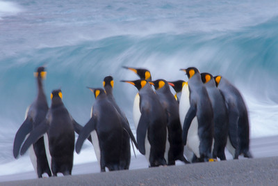Moments of indecision: king penguins weigh the pounding surf against their need to go fish.  Motion blur, 1/5 second.