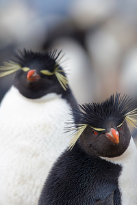 Rockhopper penguins: a mated pair share nest responsibilities for a single egg.