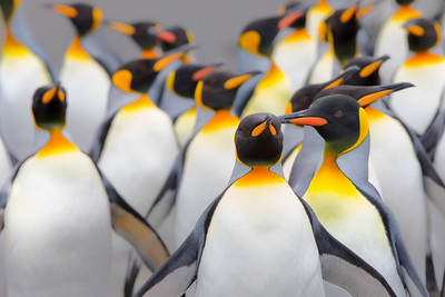 King lineup.  Unafraid, this group of adult king penguins walk directly toward my camera with a short lens, handheld while on my stomach laying in the sand.