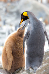 An 'oakum boy' attempts to prompt this king penguin to regurgitate its next meal.